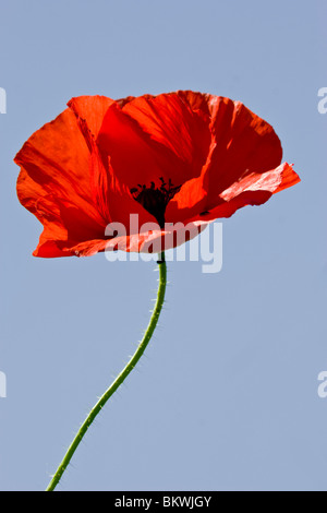The Poppy Is A Symbol Of Remembrance And They Carpet The Fields Of