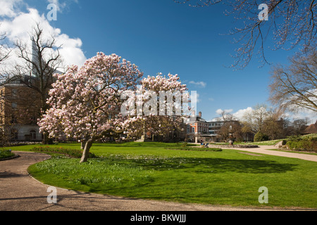 Blossoming magnolia tree in Forbury Gardens in the centre of Reading, Berkshire, Uk - Stock Photo