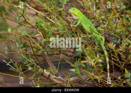 Green Iguana (Iguana iguana), juvenile on a small bush at the the Plaza Resort in Bonaire, Netherlands Antilles. - Stock Photo