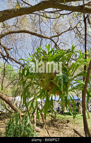 Kanapaha Gardens Spring Festival Gainesville Florida giant staghorn fern hangs from live oak tree - Stock Photo