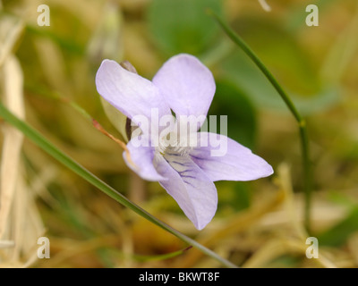 Heath Dog-violet - Stock Photo