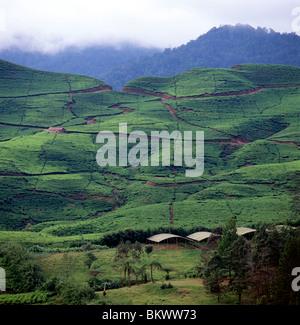 Tea plantations growing on hillsides near Puncak Pass, east of Bogor, Java, Indonesia - Stock Photo