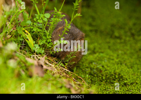 European Water Vole ( Arvicola amphibius ) On River Bank - Stock Photo