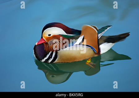 Male Mandarin Duck, Aix galericulata - Stock Photo