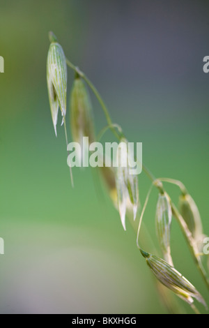 Close up of wild oat - Avena fatua - Stock Photo