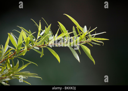 Weeping Willow branch Salix × sepulcralis showing young leaves against a dark background in springtime - Stock Photo