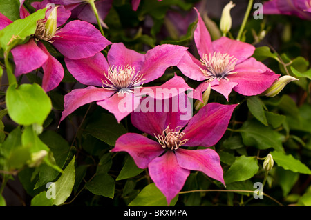 Clematis 'Picardy' in flower - Stock Photo