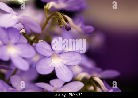 Streptocarpus 'Falling Stars' in flower - Stock Photo