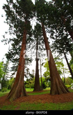 Giant Sierra Redwood (Sequoiadendron giganteum), Valley Gardens, The Royal Landscape, Windsor Great Park, Surrey, United Kingdom