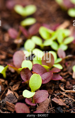 Close up of mixed leaf lettuce seedlings - Stock Photo