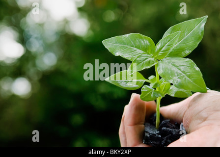 Basil plant in hand full of coal - Stock Photo