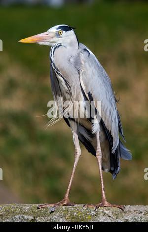 Grey Heron; Ardea cinerea; standing on a wall - Stock Photo