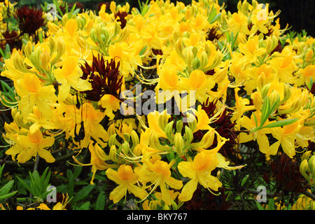 Yellow azalea flowers close up Rhododendron luteum - Stock Photo