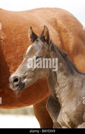 Quarter Horse Foal - Stock Photo