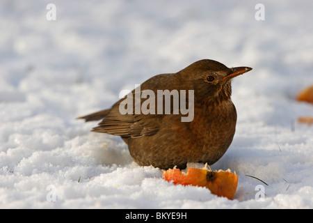 Amsel, Black bird - Stock Photo