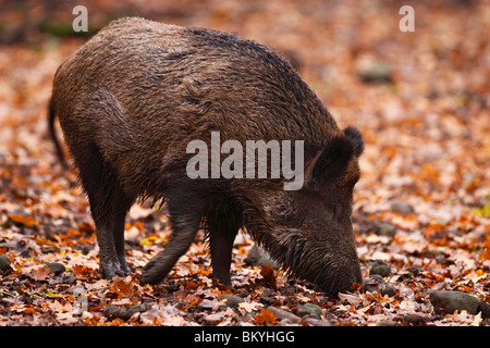 Wildschwein, sus, scrofa, wild, boar, - Stock Photo