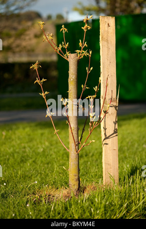 New shoots and branches  growing from a vandalised sapling tree, UK - Stock Photo