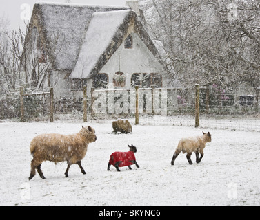 Vashon Island, WA Sheep in an early spring snow storm - Stock Photo