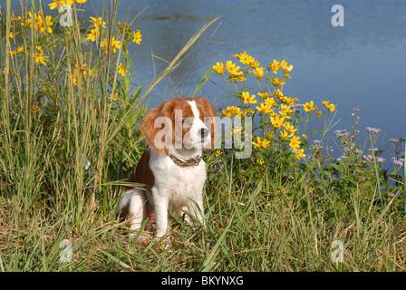 Cavalier King Charles Spaniel sitting on edge of pond USA - Stock Photo