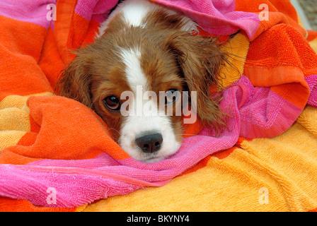 Cavalier King Charles Spaniel puppy resting USA - Stock Photo