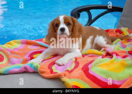 Cavalier King Charles Spaniel next to swimming pool - Stock Photo