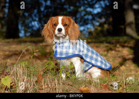 Cavalier King Charles Spaniel in outdoor setting USA - Stock Photo