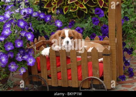 Cavalier King Charles Spaniel puppy in garden setting USA - Stock Photo