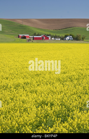 Whitman County, WA: Field of bright yellow mustard blooming in the Palouse area near Dusty, WA - Stock Photo