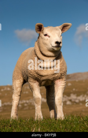 Texel lamb standing on grassy hilside. Cumbria. - Stock Photo