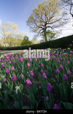 Purple and white tulips in bloom in the Conservatory Garden in New York City's Central Park - Stock Photo