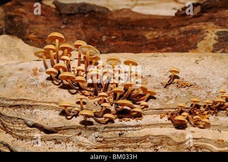 3109. Velvet Shank Fungi, Kent, UK - Stock Photo