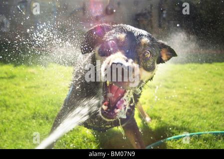 Dog attacking water hose in backyard fun vicious an wide eyed bearing teeth with spray flying everywhere albuquerque - Stock Photo