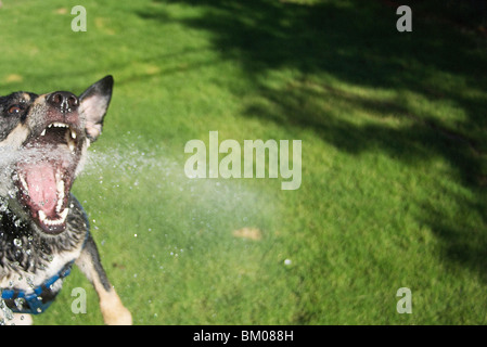 Dog attacking water hose in backyard fun vicious an wide eyed bearing teeth with spray flying everywhere - Stock Photo