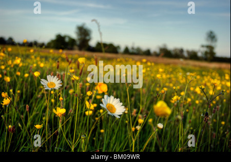 Daisies and buttercups growing in a meadow in Suffolk England - Stock Photo