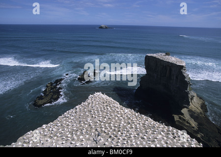 Muriwai Gannet Colony, Muriwai, Waitakere Ranges, near Auckland, North Island, New Zealand - Stock Photo