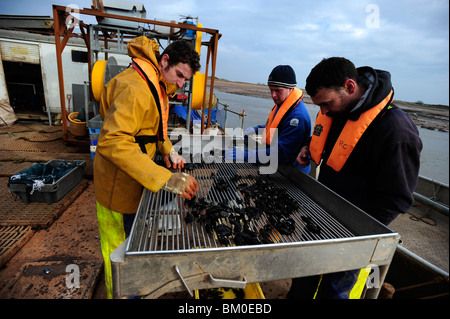 men working on a mussel fishing barge on the Exe estuary, Exmouth, Devon, sorting out the shellfish by size - Stock Photo