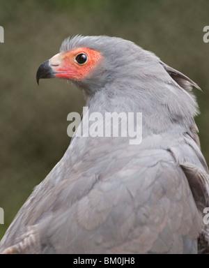 African Harrier Hawk / Gymnogene (polyboroides typus) - Stock Photo
