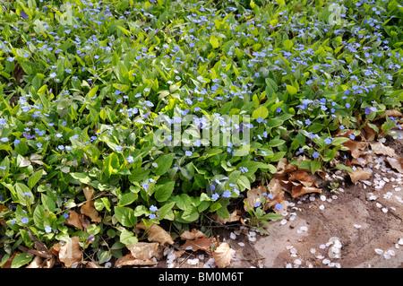 Blue-eyed Mary (Omphalodes verna) - Stock Photo