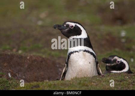 Magellan-Pinguine Magellanic Penguins Spheniscus magellanicus with burrow Falkland Islands Volunteer Point - Stock Photo