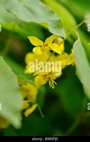 Barrenwort (Epimedium x perralchicum 'Lichtenberg') - Stock Photo