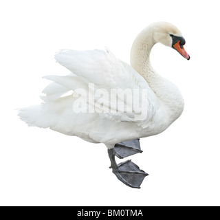 White mute swan (Cygnus olor) stand side view cutout - Stock Photo