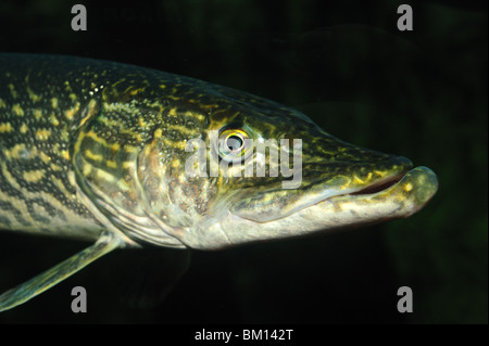 Northern Pike, Esox lucius, captive - Stock Photo