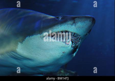 Sand tiger shark, Carcharias taurus, captive - Stock Photo