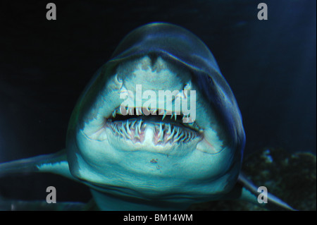Sand tiger shark, Carcharias taurus, captive - Stock Photo