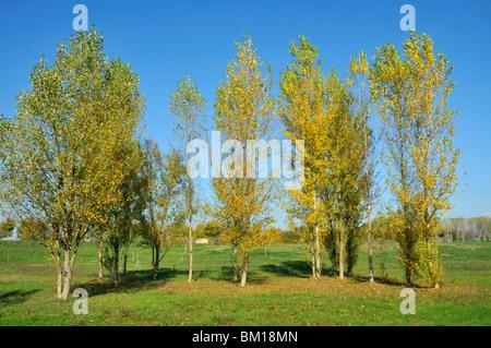 Populus nigra, Black Poplar - Stock Photo