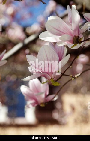 Beautiful magnolia tree in Lugano, Switzerland - Stock Photo