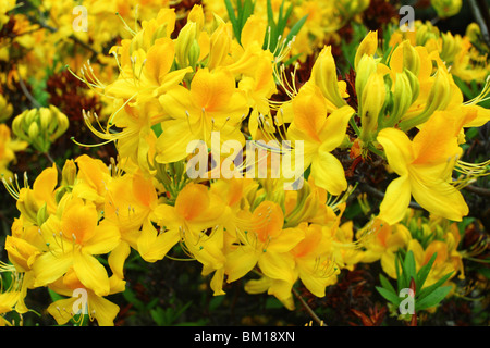 Yellow spring rhododendron blossom Rdododendron luteum - Stock Photo