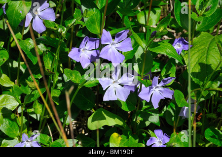 vinca minor lesser periwinkle stock photo royalty free image 62652275 alamy. Black Bedroom Furniture Sets. Home Design Ideas
