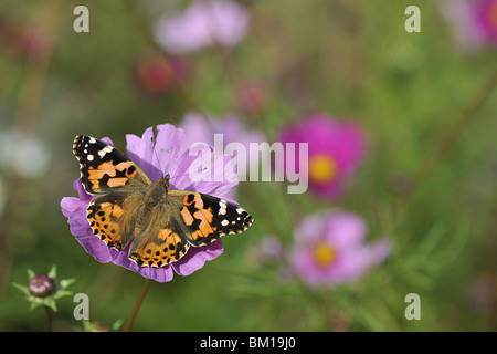 Painted Lady butterfly gathering nectar from flower of cosmos - Stock Photo