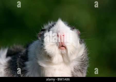 Meerschweinchen / guinea pig - Stock Photo
